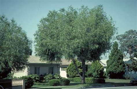 australian willow tree selection landscape plants