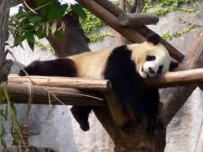 Cute Baby Panda Bears Sleeping