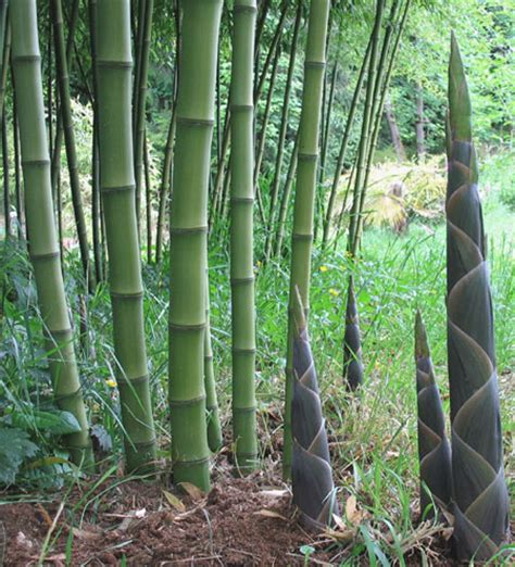 A Bamboo Shoot Is 20 Inches Phyllostachys Atrovaginata