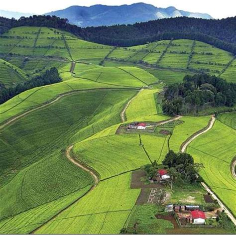 Not so long ago, individual farmers on each rwanda coffee plantation were responsible for. 63 best images about Kenya Tea Plantations on Pinterest   Nandi hills, Africa and Rift valley