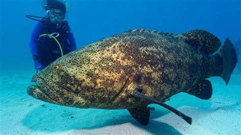 grouper goliath giant fish shark endangered massive species dangerous most diver bite single jewfish key ocean largo atlantic snatches