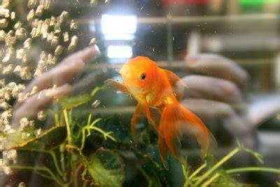 window fish tank goldfish photo hubert steed
