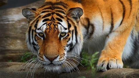desktop hd tiger attack pics  hd wallpaper bengal