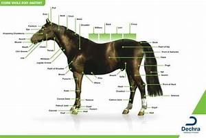 Enlargement Of The Equine Whole Body Anatomy Chart  I Use