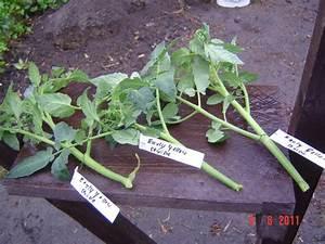 Gurken Pflanzen Anleitung : tomaten veredeln veredelung von tomaten auberginen paprika und gurken m rz 2008 03 tomaten ~ Whattoseeinmadrid.com Haus und Dekorationen
