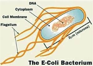 Structure Of E  Coli Source