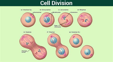 cell division mitosis meiosis and different phases of