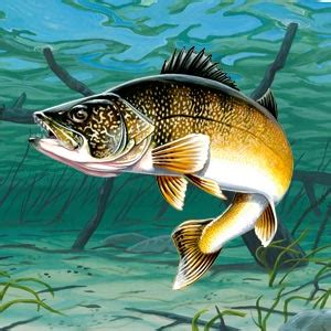 canvas wall decor walleye facts information photos and fishing tips