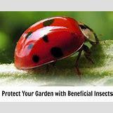 Ladybugs On Plants   450 x 358 jpeg 33kB