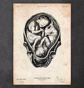 Fetus Anatomy Diagram  U2013 Codex Anatomicus