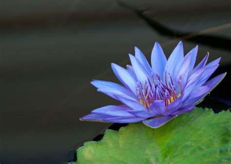 All About the Ancient Blue Lotus - Organic India
