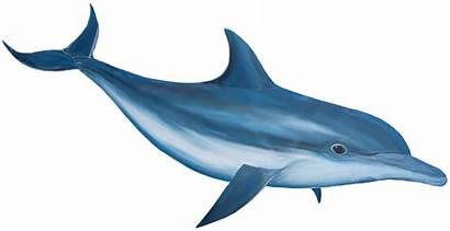 Dolphin Clipart Dusky Clipground Cliparts