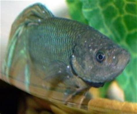 ich   white spots fish disease  pets central