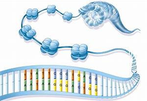 Diagram Of Chromatin : what is chromatin 39 s structure and function ~ A.2002-acura-tl-radio.info Haus und Dekorationen