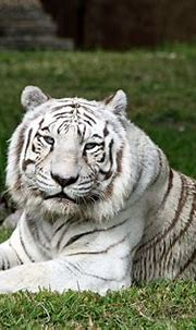 Suzy's Animals of the World Blog: THE SIBERIAN TIGER WHITE