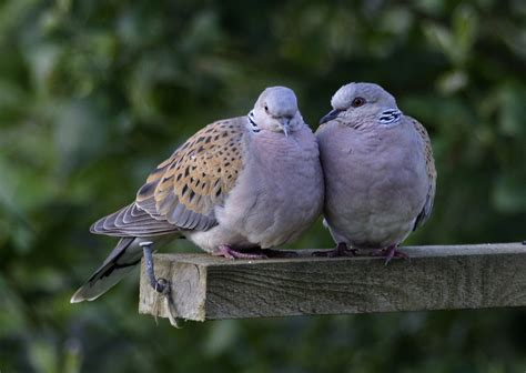 Changing The Lyrics Two Turtle Doves?  Wildlife Articles