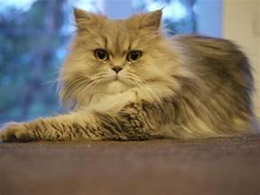 welcome to cat facts cats 101 interesting facts persiancat