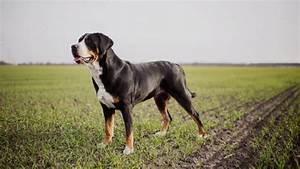 Berner Sennenhund Gewicht : grosser schweizer sennenhund hunde ~ Markanthonyermac.com Haus und Dekorationen