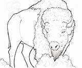 Buffalo Drawing American Native Drawings Bison Water Moose Painting Coloring Pages Getdrawings Bedroom Printable Adult Calf sketch template