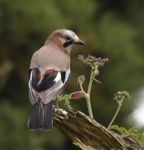 images  british garden birds  pinterest
