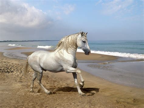 andalusian horse horses running wallpapers beach hd animals spanish andulusian andalusians andalusion spain pony mare andalusia animal grey most sea