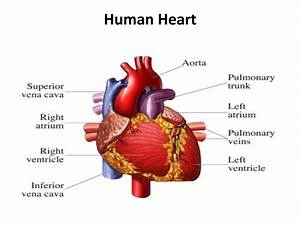 The Human Heart | CPR Certification Online First-Aid ...