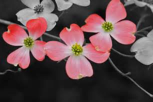 dogwood flowers my try at selective color mike