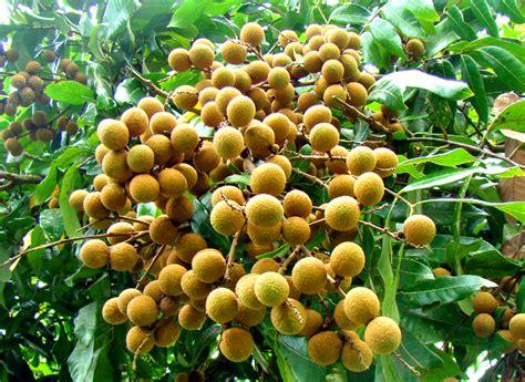 bibit tanaman murah jual bibit kelengkeng  yogyakarta