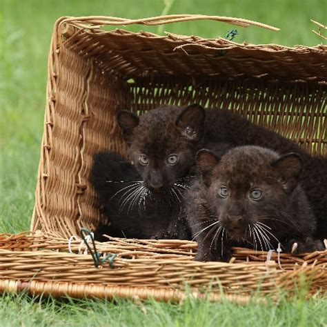 panther panthers baby cubs zoo born berlin twin tierpark cub pets market popsugar