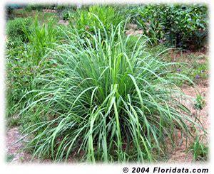 Herb Garden In Pots by Cymbopogon Citratus