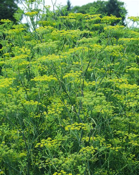 Garten Fenchel Pflanzen by Wilder Fenchel Bgbm