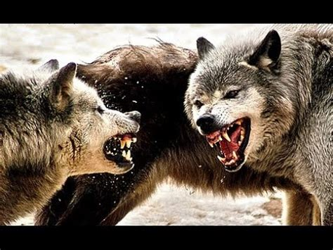 Chernobyl's wolves feed on deer and even catch fish. Radioactive Wolves Of Chernobyl - YouTube