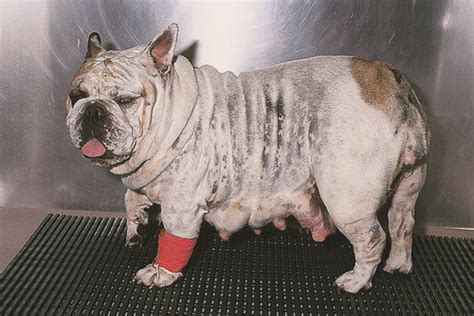 Small Animal Soft Tissue Surgery Qa  Wikivet English