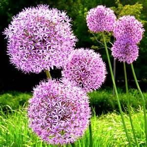Allium Bulbs Giant Giganteum