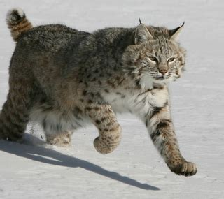 kentucky bobcat hunting guides outfitters  lodges