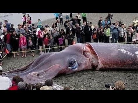 giant squid octopus kraken largest  captured alive