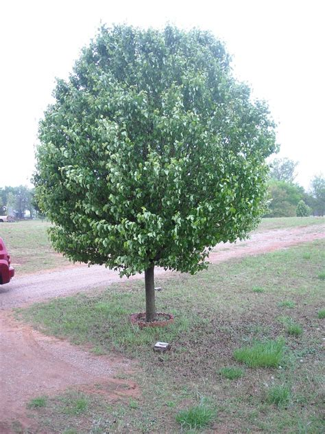 Common Front Yard Trees 28 28 Best Common Front Yard 28