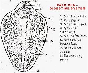 Gallery  Labelled Diagram Of Fasciola