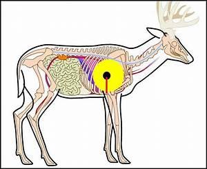 Whitetail Deer Vitals Diagram