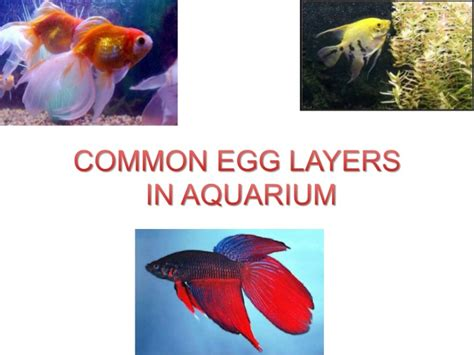 common egg layers  aquarium