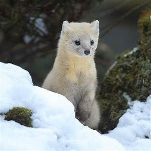 "Rare wild animal ""Ezo kuroten"" can be found only in ..."