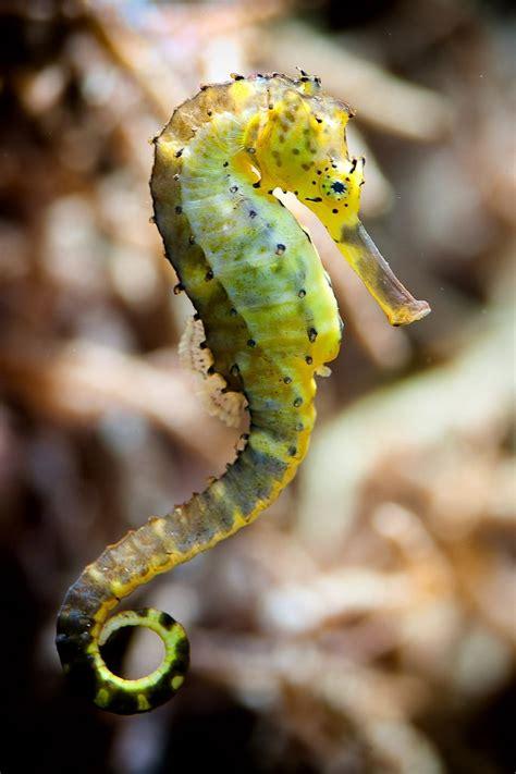 Seahorse Animals Sea Creatures Ocean Life Animals