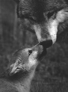 black and white wolves playing photography | cute, wolf ...