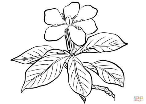 Jasmine Flower Botanical Drawing At GetDrawings.com