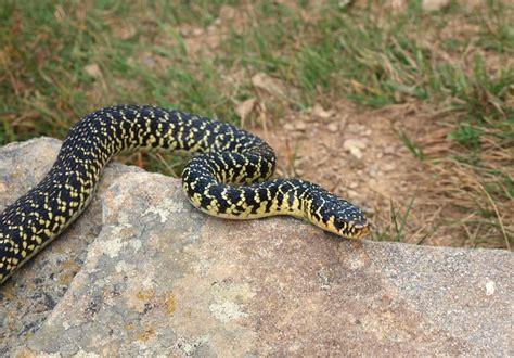 affitti alessandria arredati 101 biacco nero serpenti italiani alleati per l 39 orto