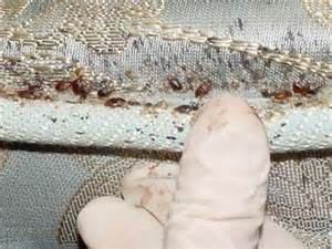 can bed bugs live on cats green way to get rid of bed bugs the new ecologist
