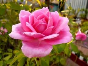 petunia lantana camara pink plants