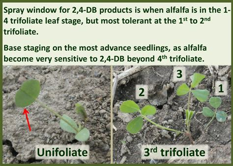 alfalfa growth stages field crop news