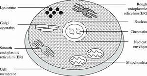 Diagram Of A Eukaryotic Cell