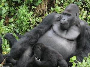 Learning about Grauer's gorillas from Chimanuka   Dian Fossey